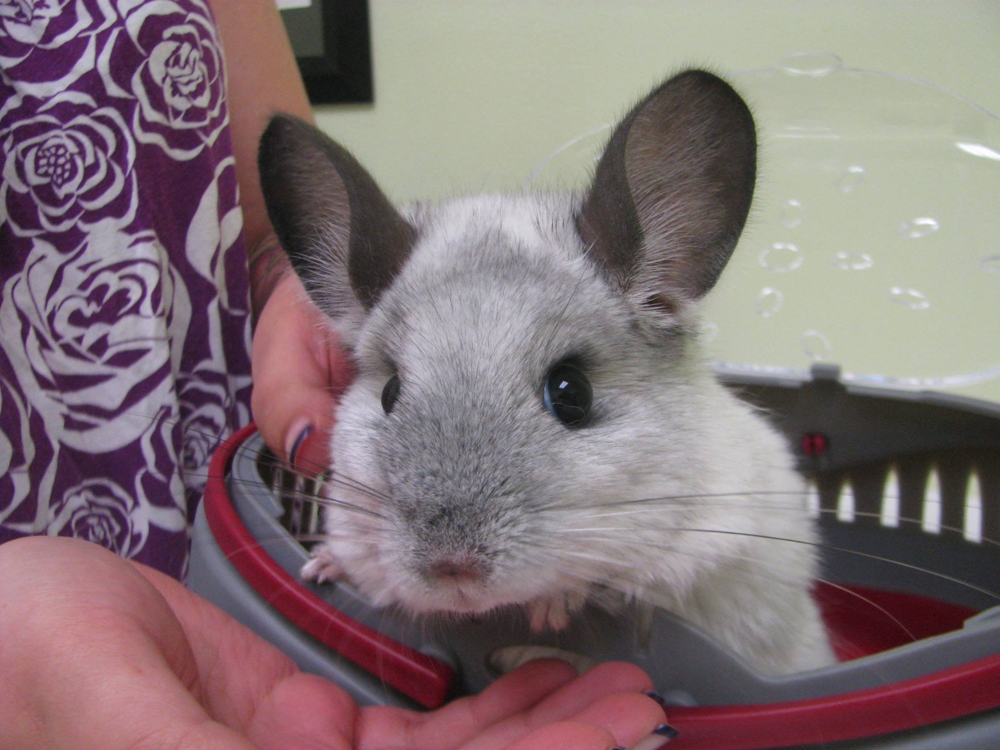 Chinchilla close-up
