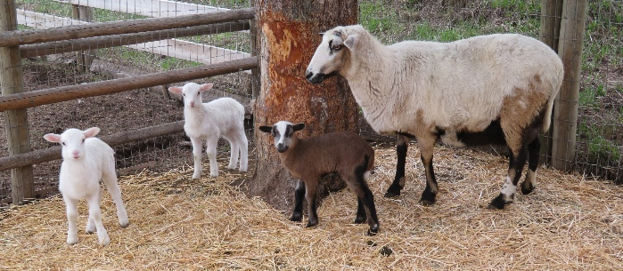 Big Rock Joy - ewe lamb(sold), ewe(sold), ram