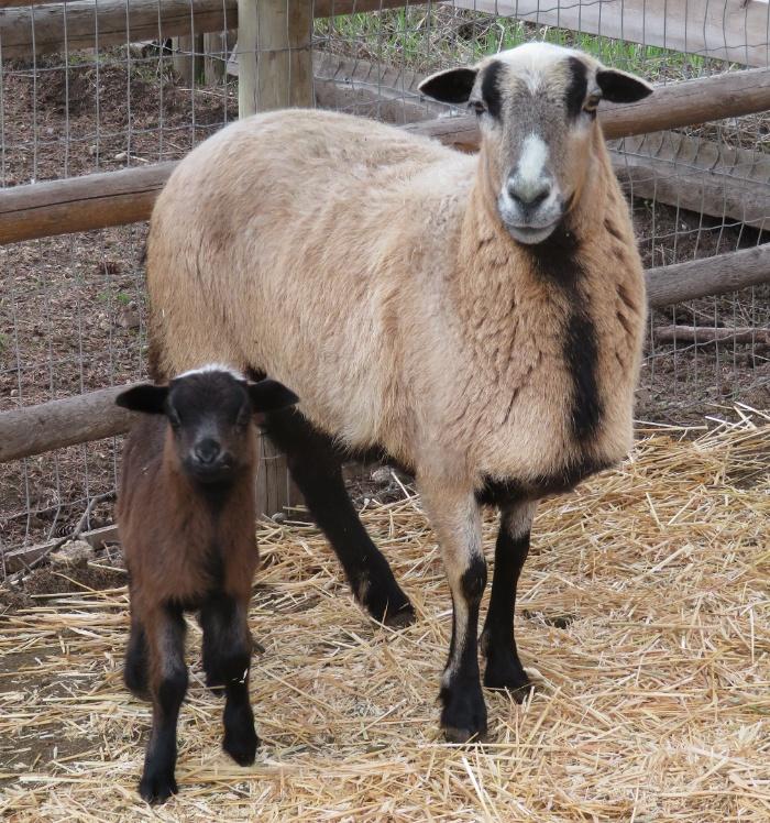 Big Rock Sissy($200) & ram lamb