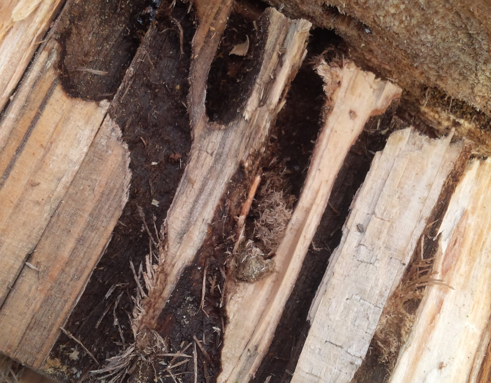 Poplar Borer Damage