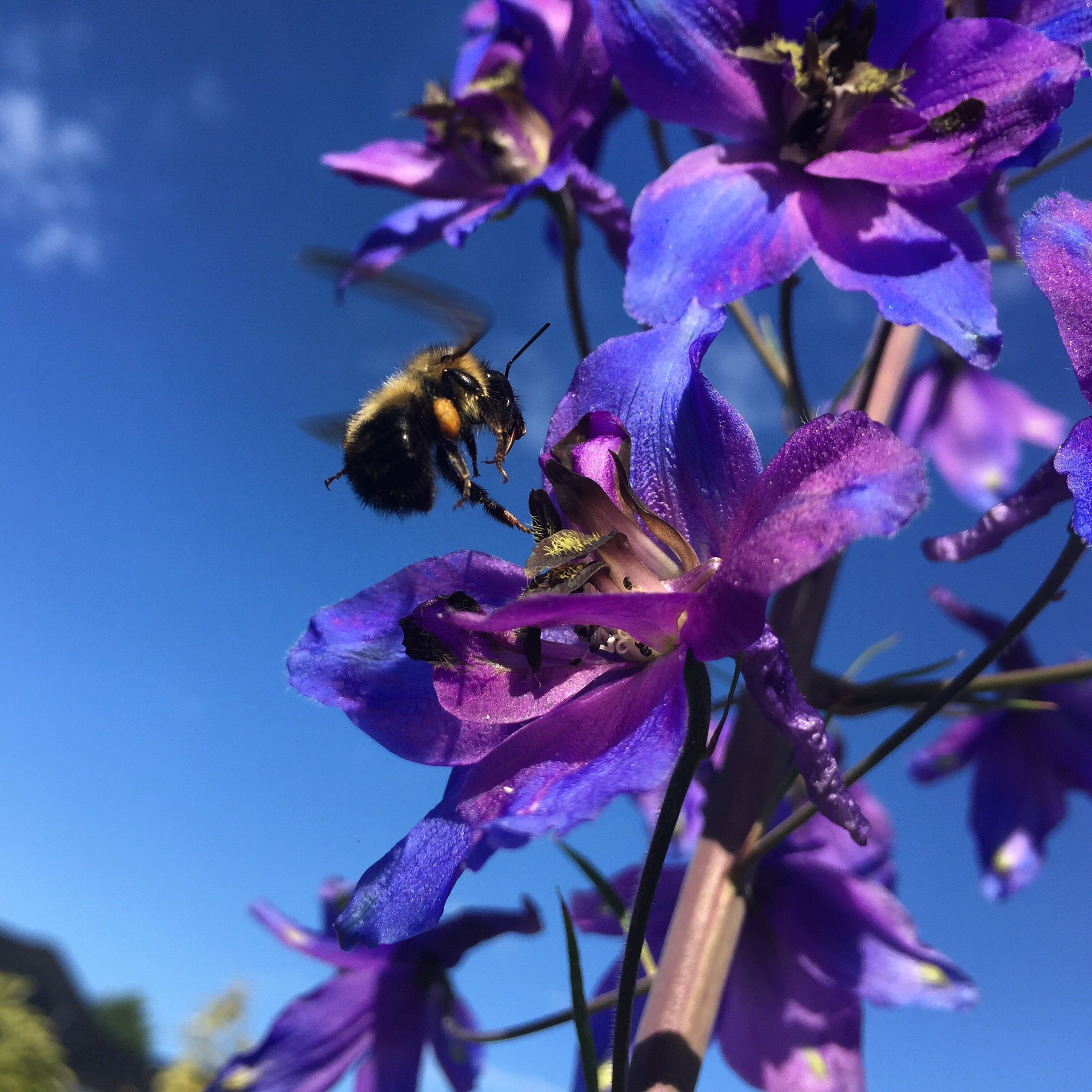 Resident pollinator on Delphinium flower