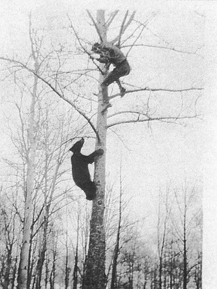 Black Bear chasing man up a tree. 2000.50.05 / Harrison David