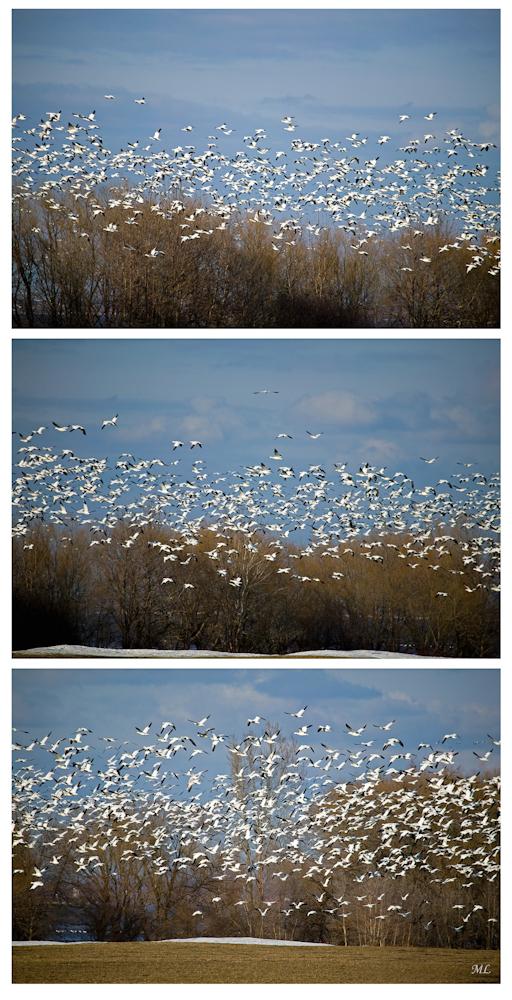 Départ des Oies  blanches  Montmagny 2008