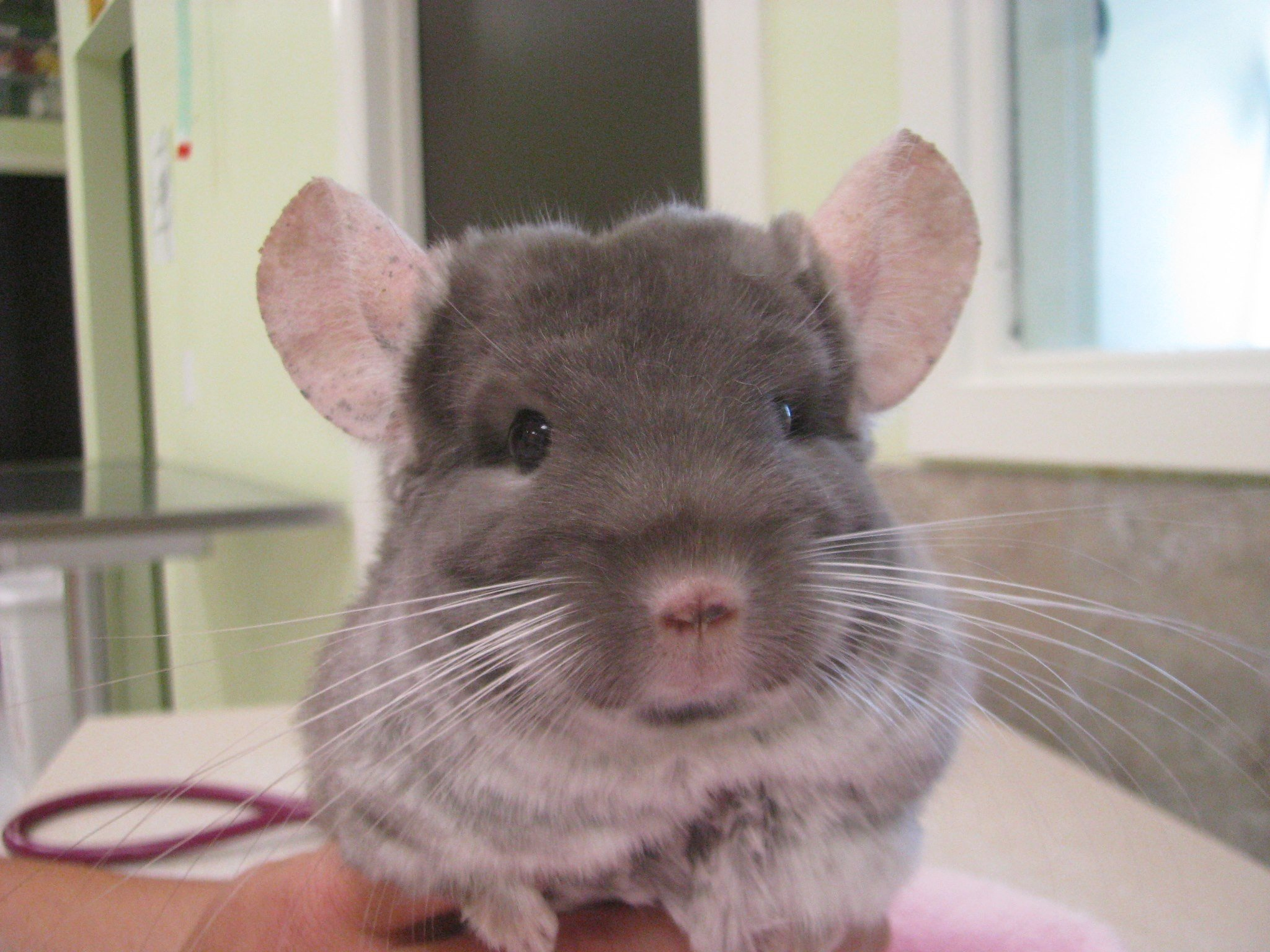 Chinchilla whiskers