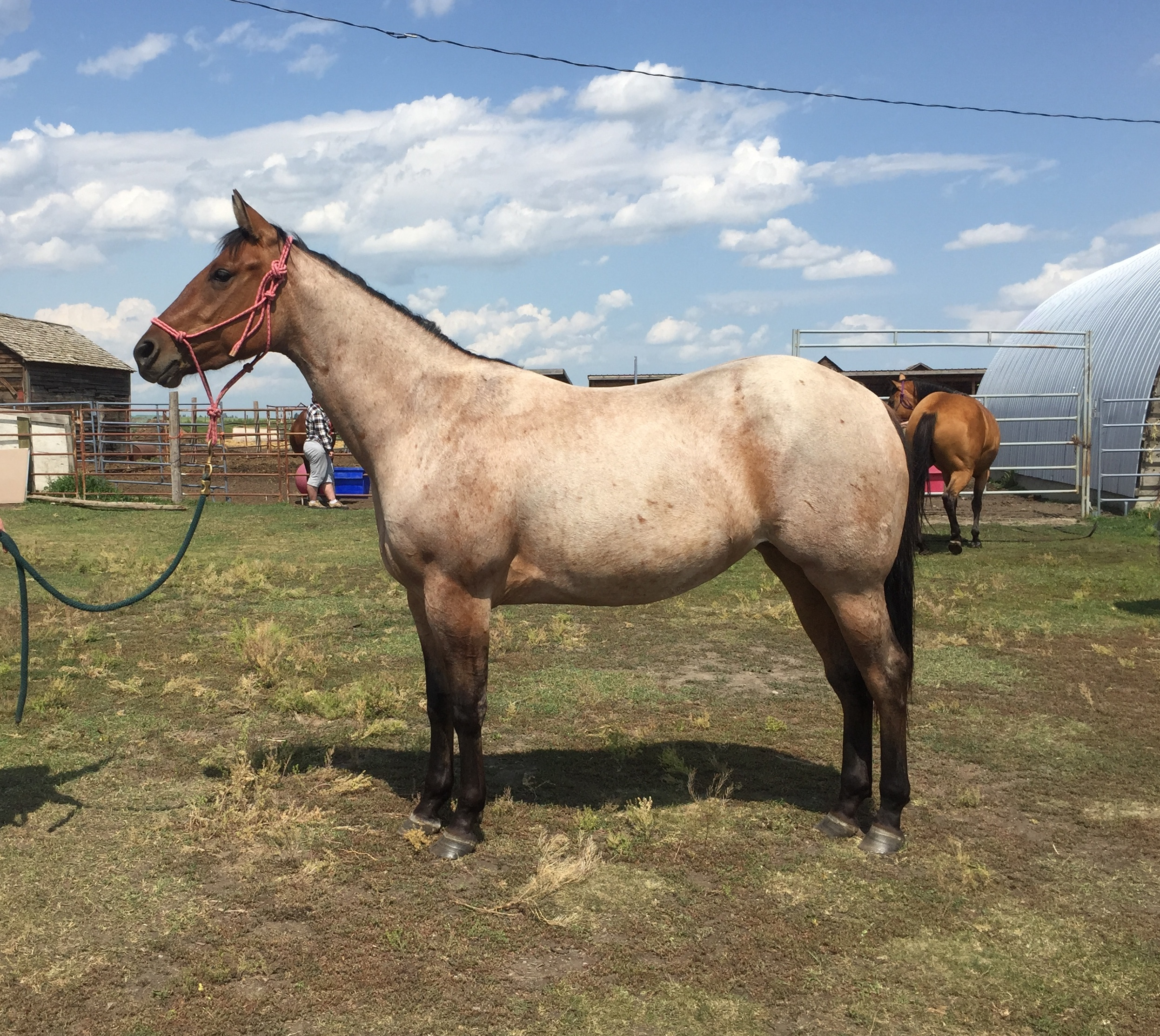 SANDY is a 2017 QH filly