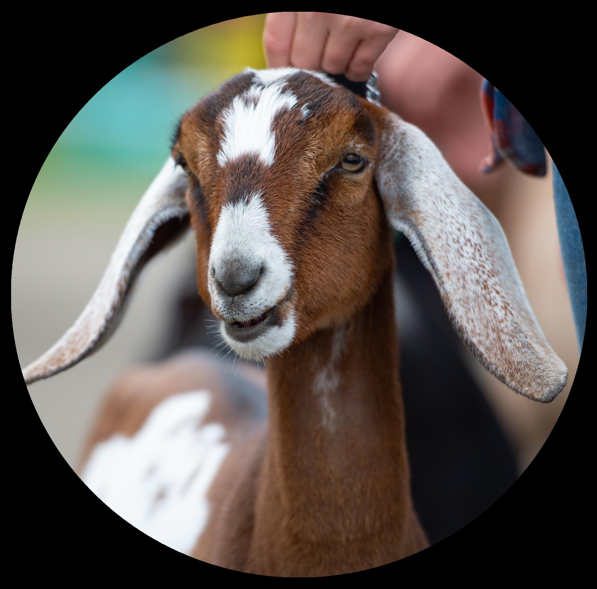 4-H Goat Division