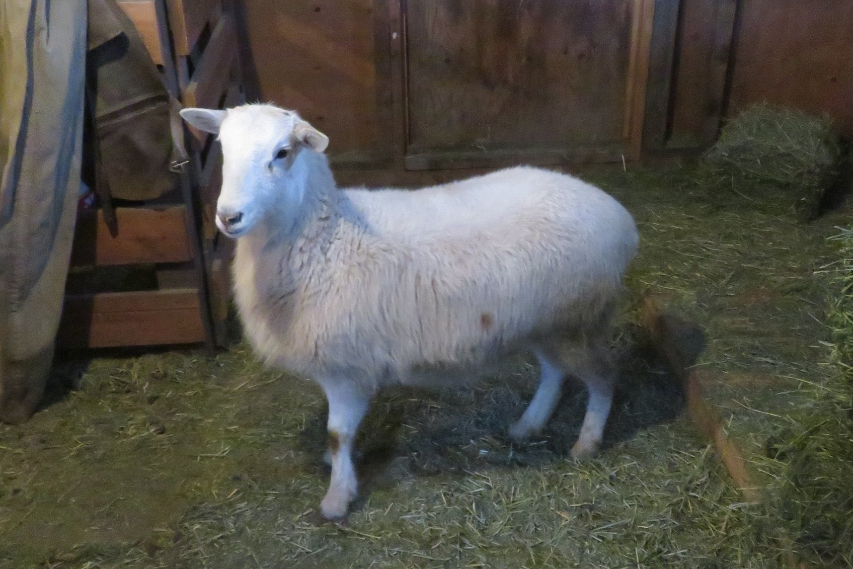 Big Rock Sierra for sale(issues-please inquire) ram & ewe lamb- pending picture