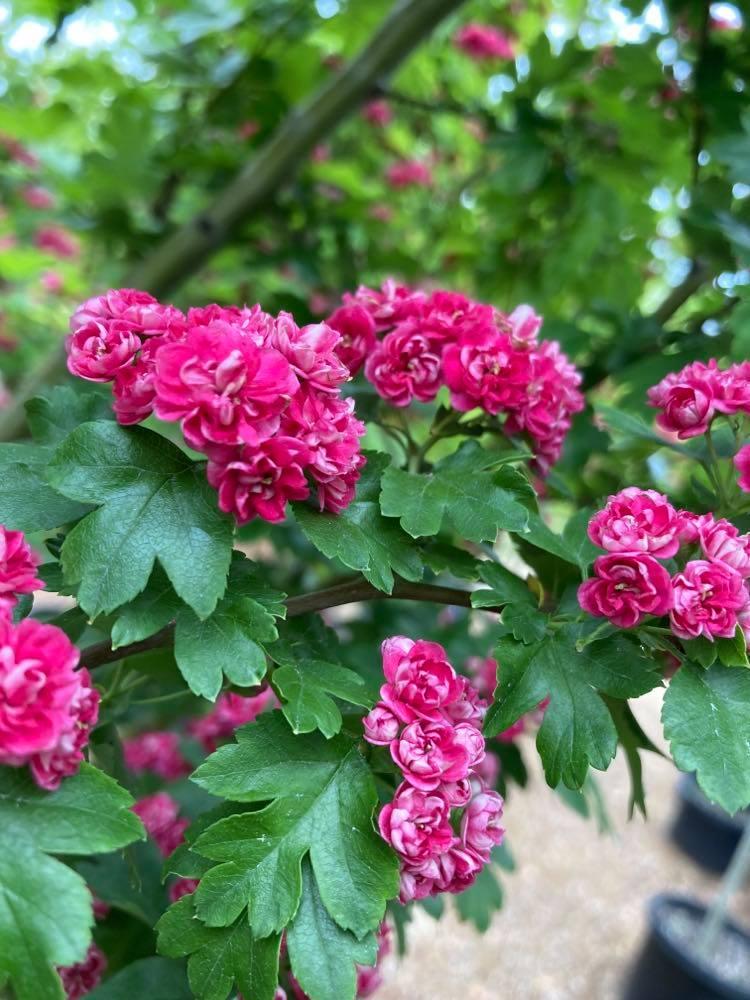 Hawthorn Trees in bloom