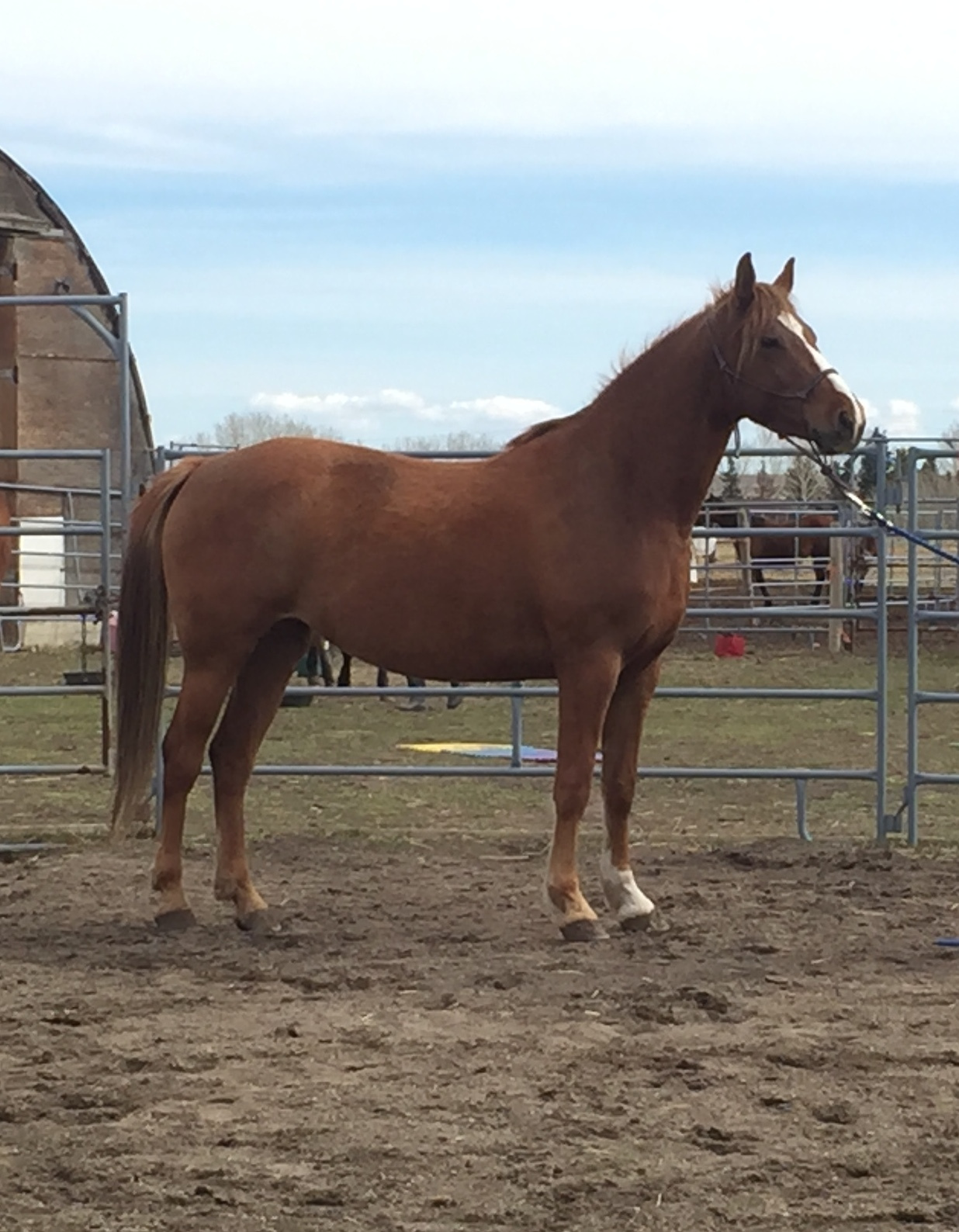 WHISPER is a 2015 arab cross mare. She chooses her person and is not a horse for a beginner.