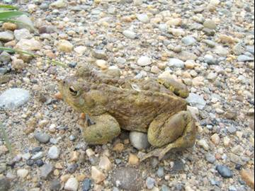 Boreal (western) toad