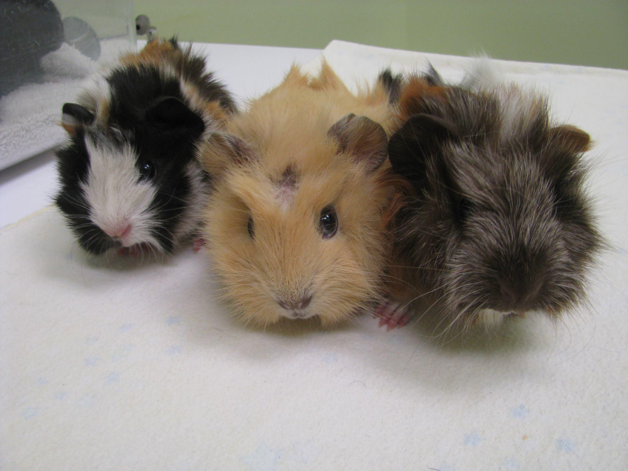 https://0901.nccdn.net/4_2/000/000/019/c2c/guinea-pigs-4.jpg