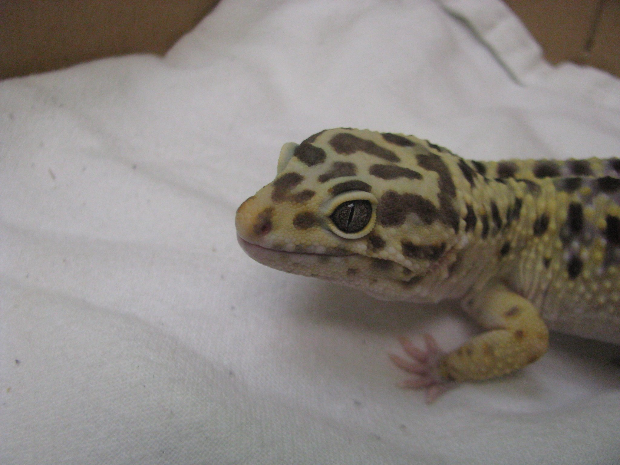 leopard gecko2