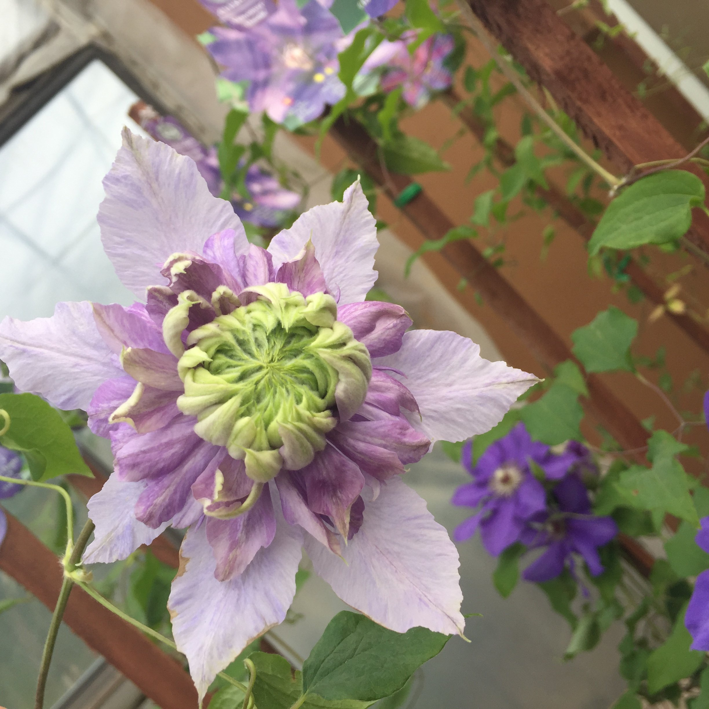Moonglow clematis