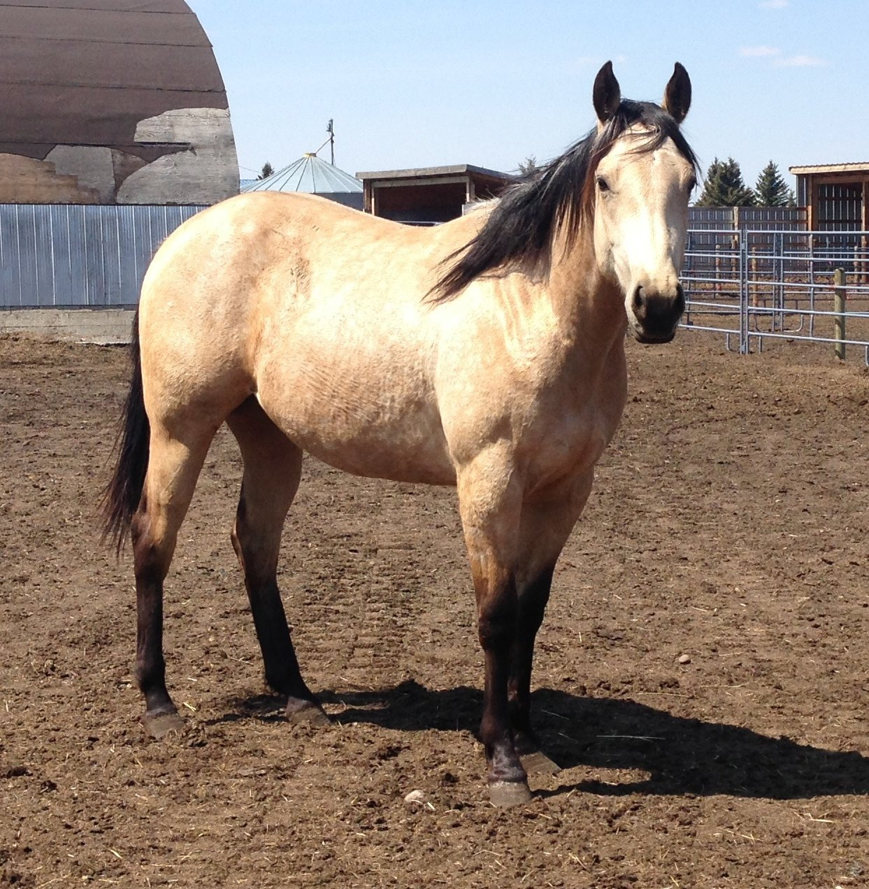 ALLIE - 2014 mare, she has a bowed tendon and will be staying here.