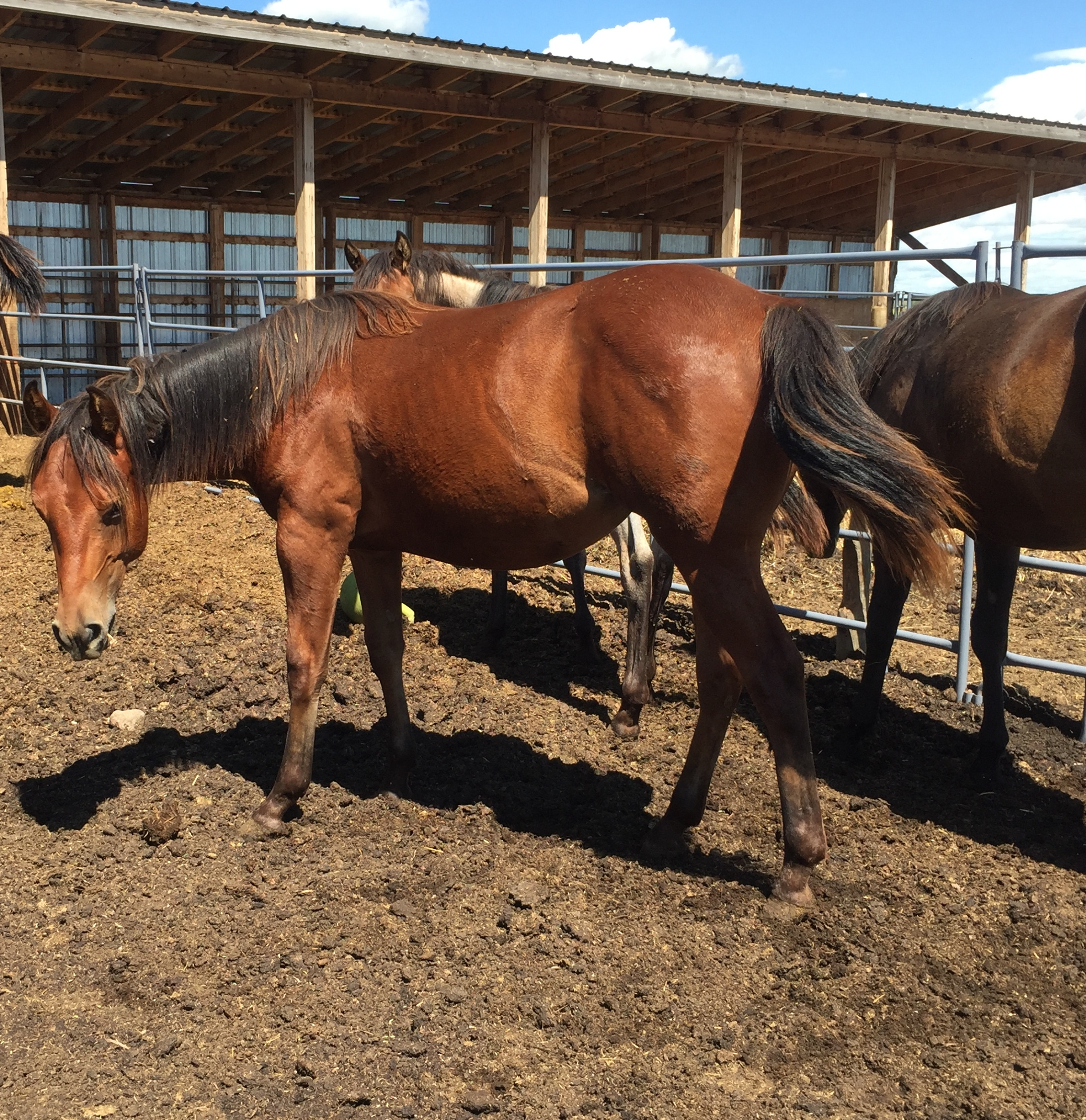 Kiana 2019 quarter horse filly