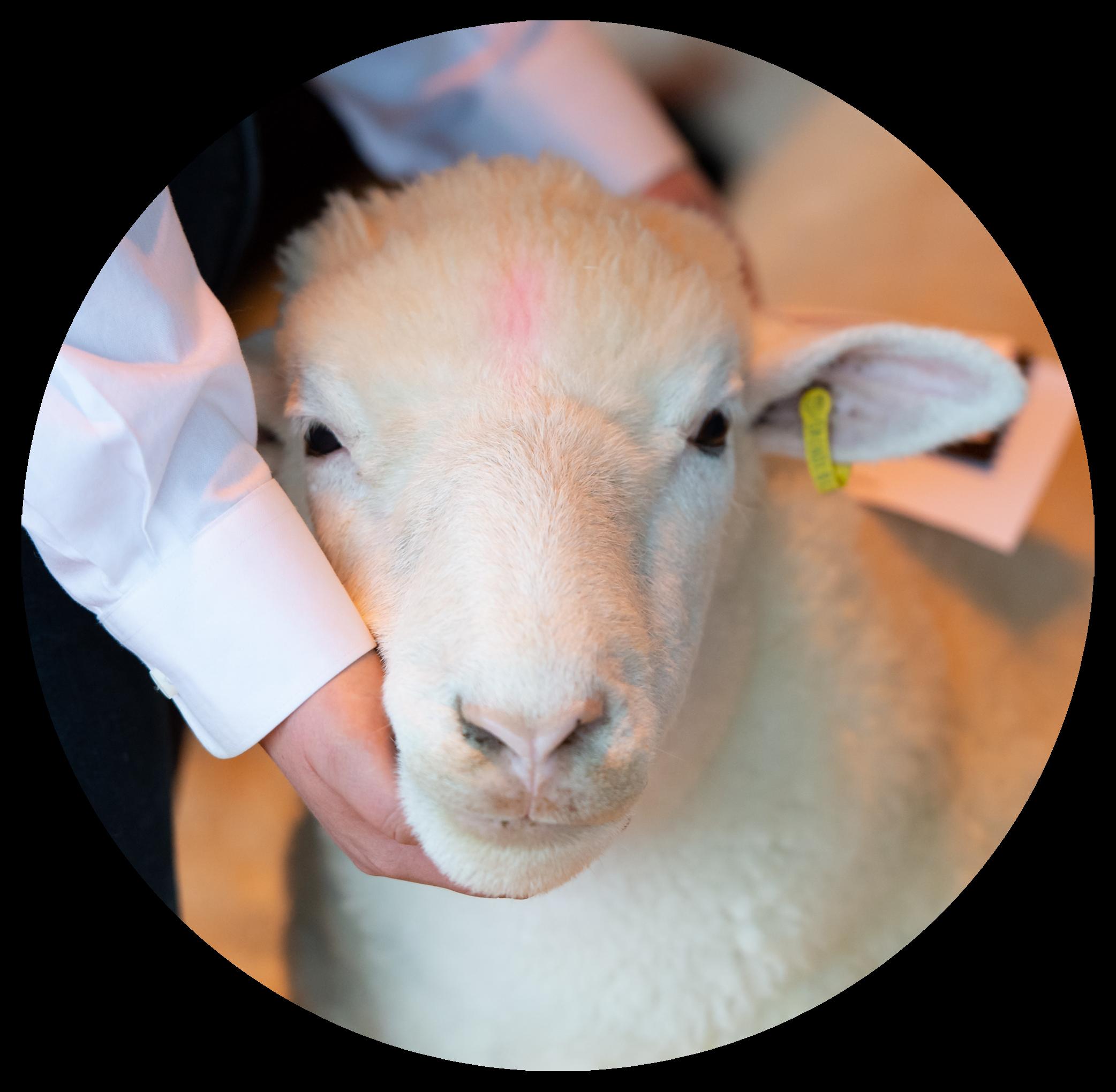 Sheep Division