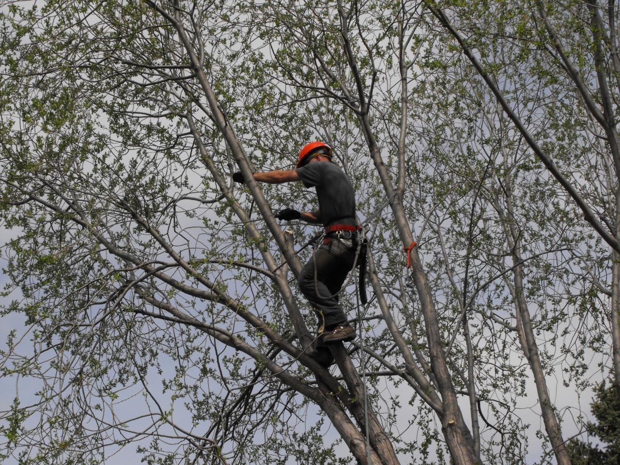 Tree-Pruning-Edmonton-Willow