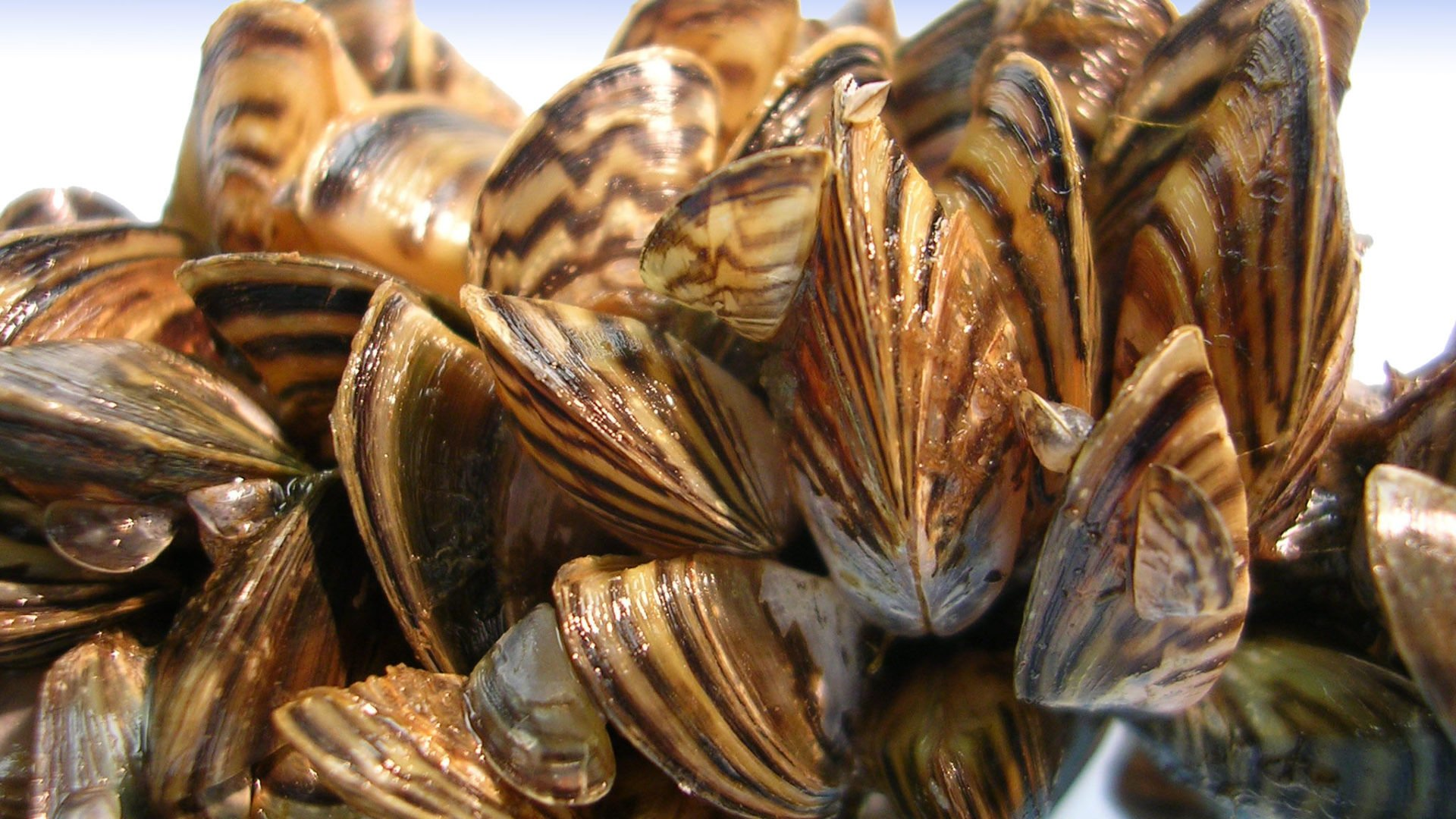 Zebra Mussels on lifebuoy at Kelso CA