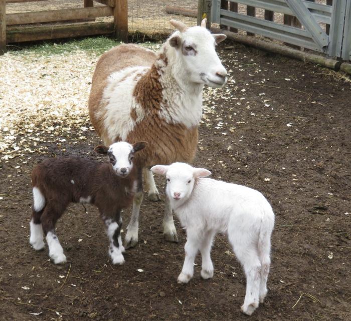 Big Rock Lulu - ram & ewe lambs