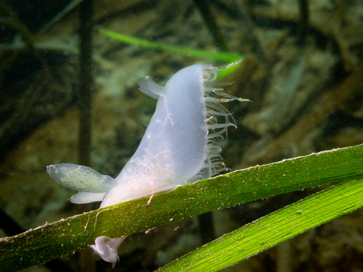 Hooded Nudibranch
