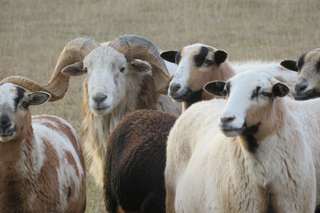 Big Rock Sheep Station - Painted Desert Sheep
