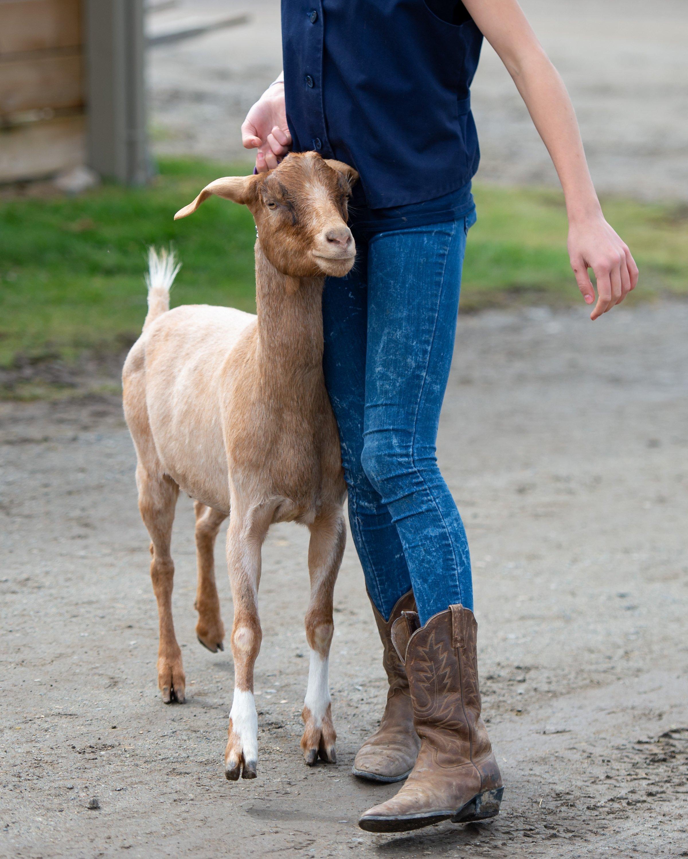 4-H Goat
