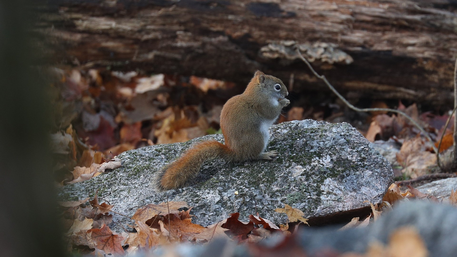 https://0901.nccdn.net/4_2/000/000/038/2d3/Gravenhurst-Fall-2016-Red-Squirell-A-1920x1080.jpg