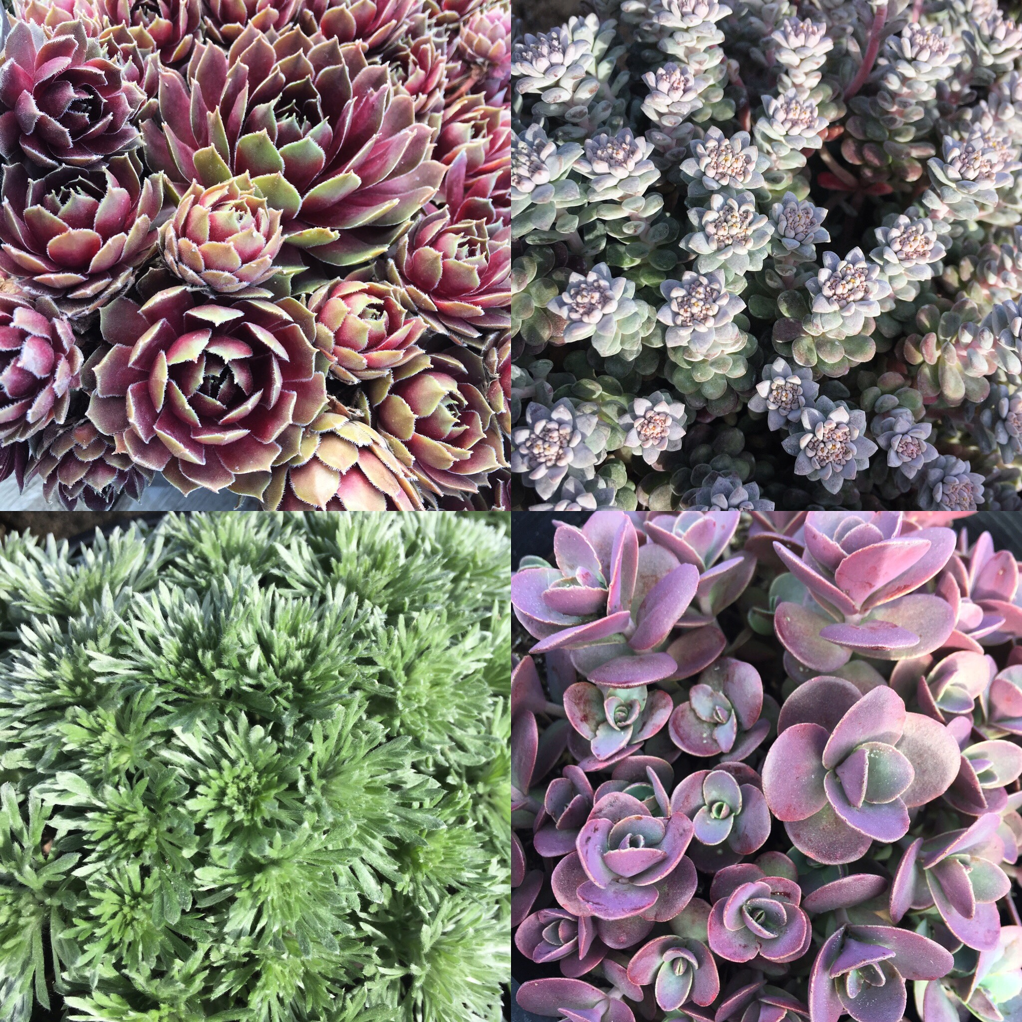 succulent ground covers