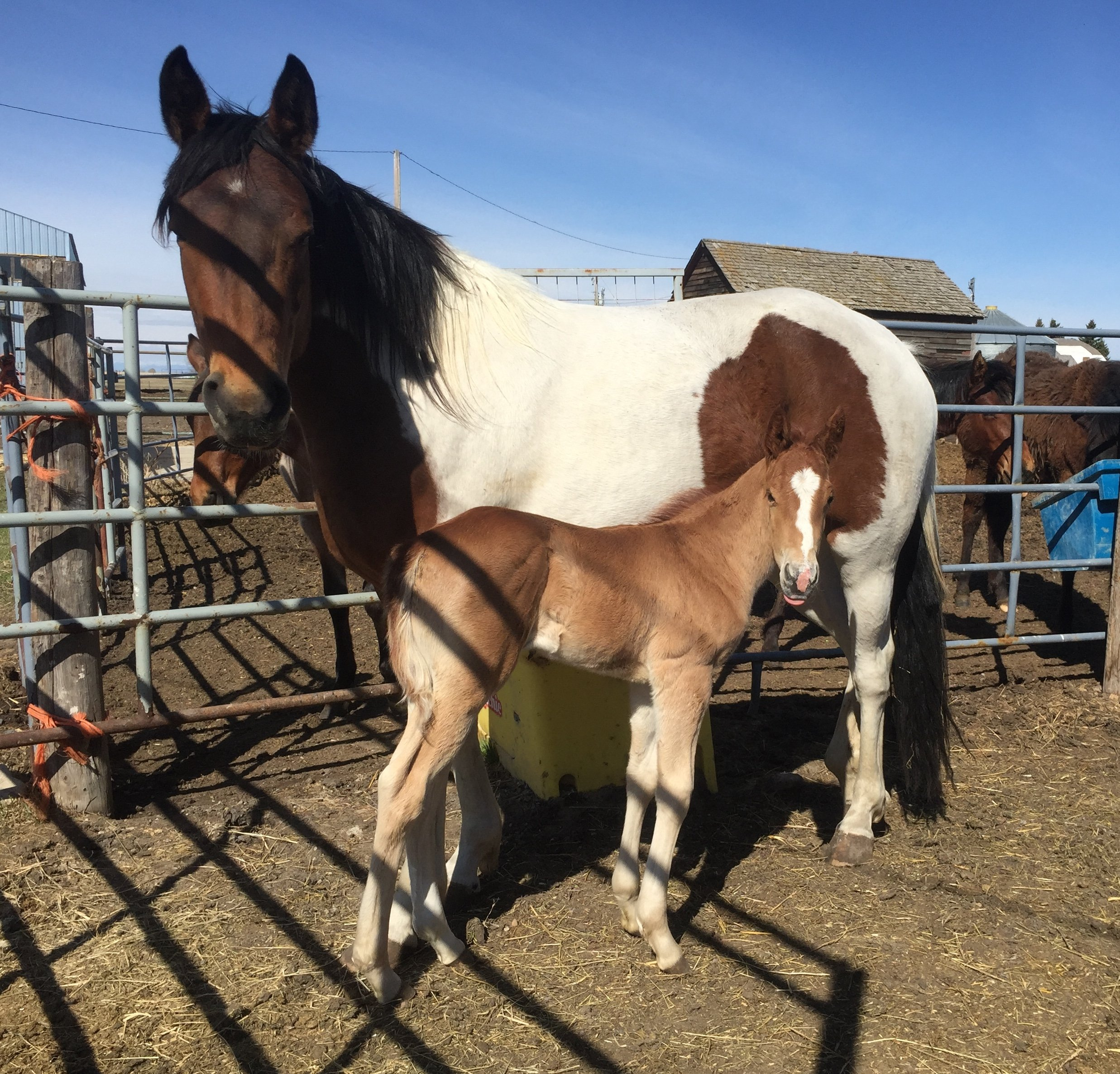 SHELBY 2017 Paint Mare JASPER 2020 Stud Colt  Adoptable As Pair Only