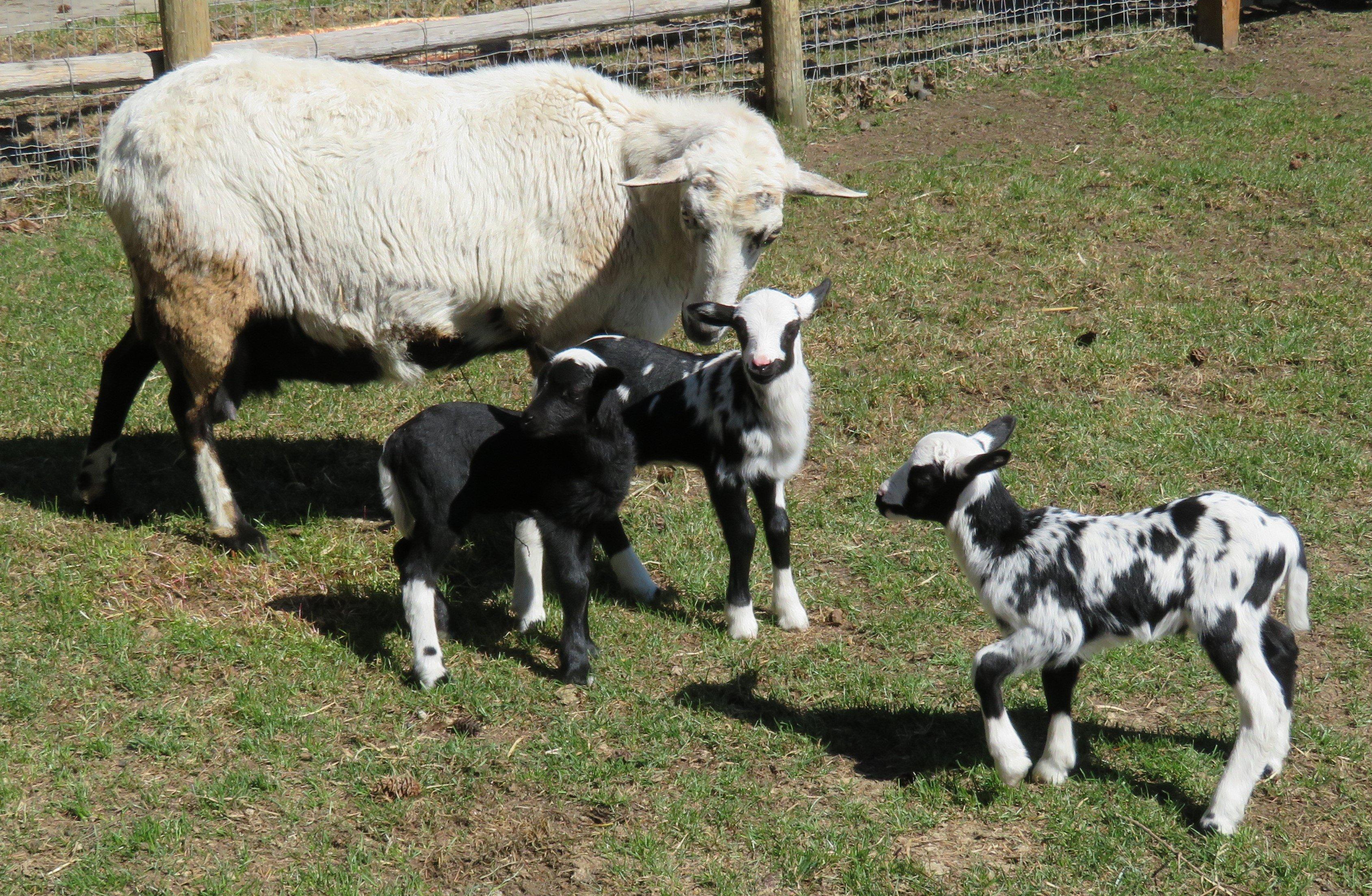 Joy & 3 ram lambs Ram C $300(sold), B $400(sold), A $400(sold)
