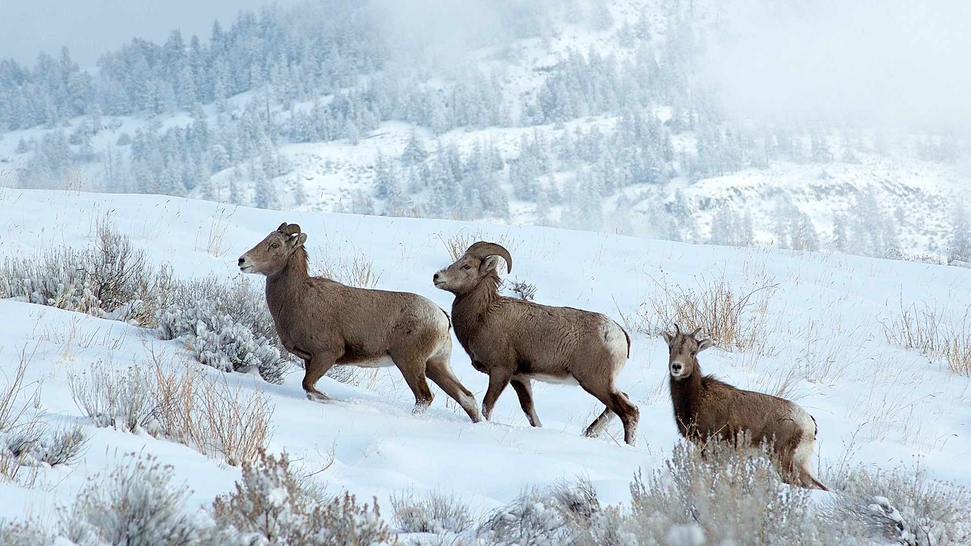 https://0901.nccdn.net/4_2/000/000/038/2d3/Mountain-Sheep.jpg