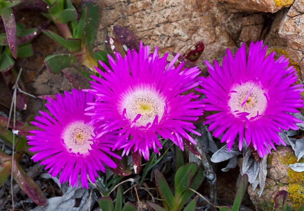 Fleurs envahissantes  de Sardaigne - Avril  2010