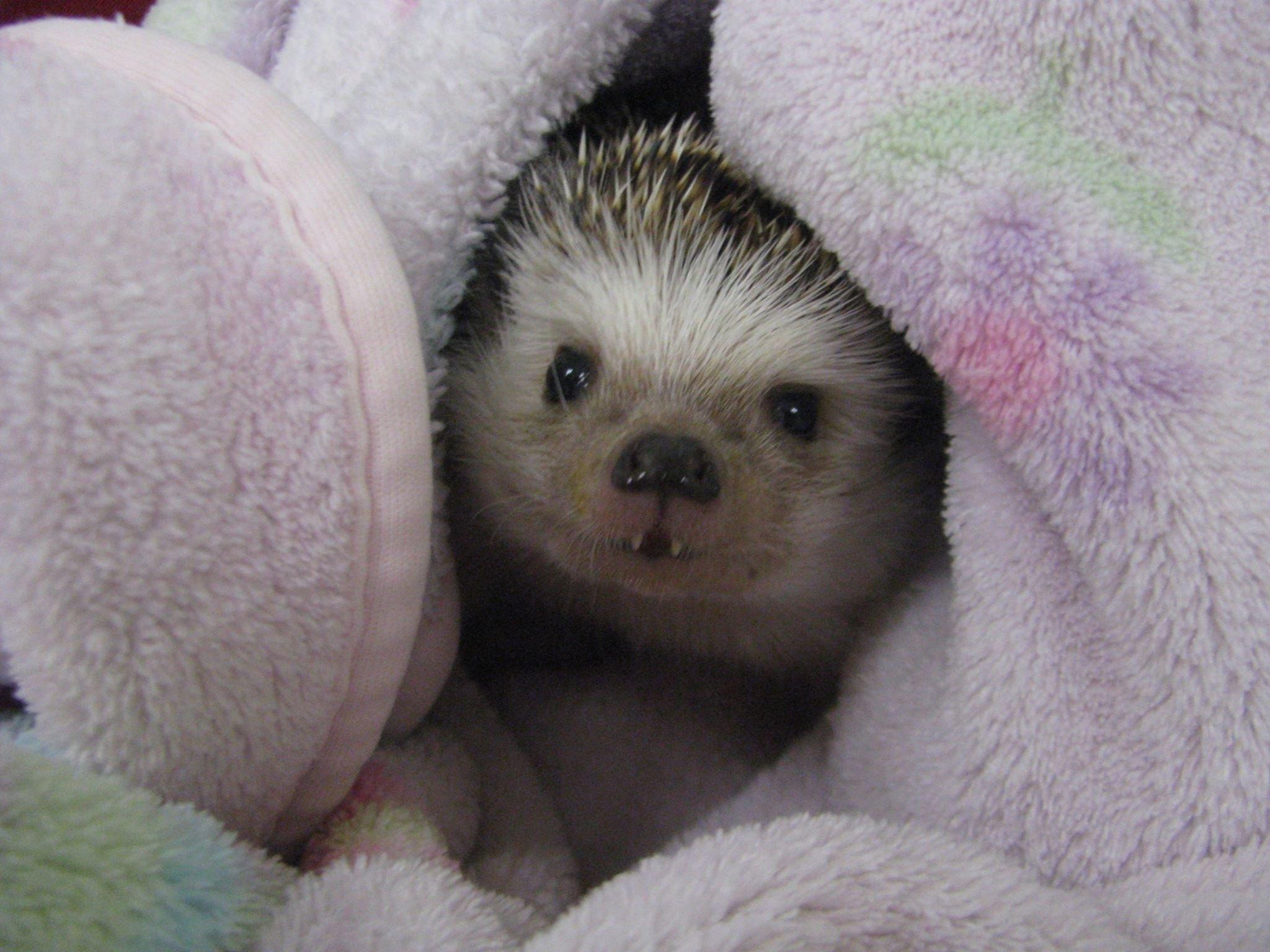 Hedgehog cuddle