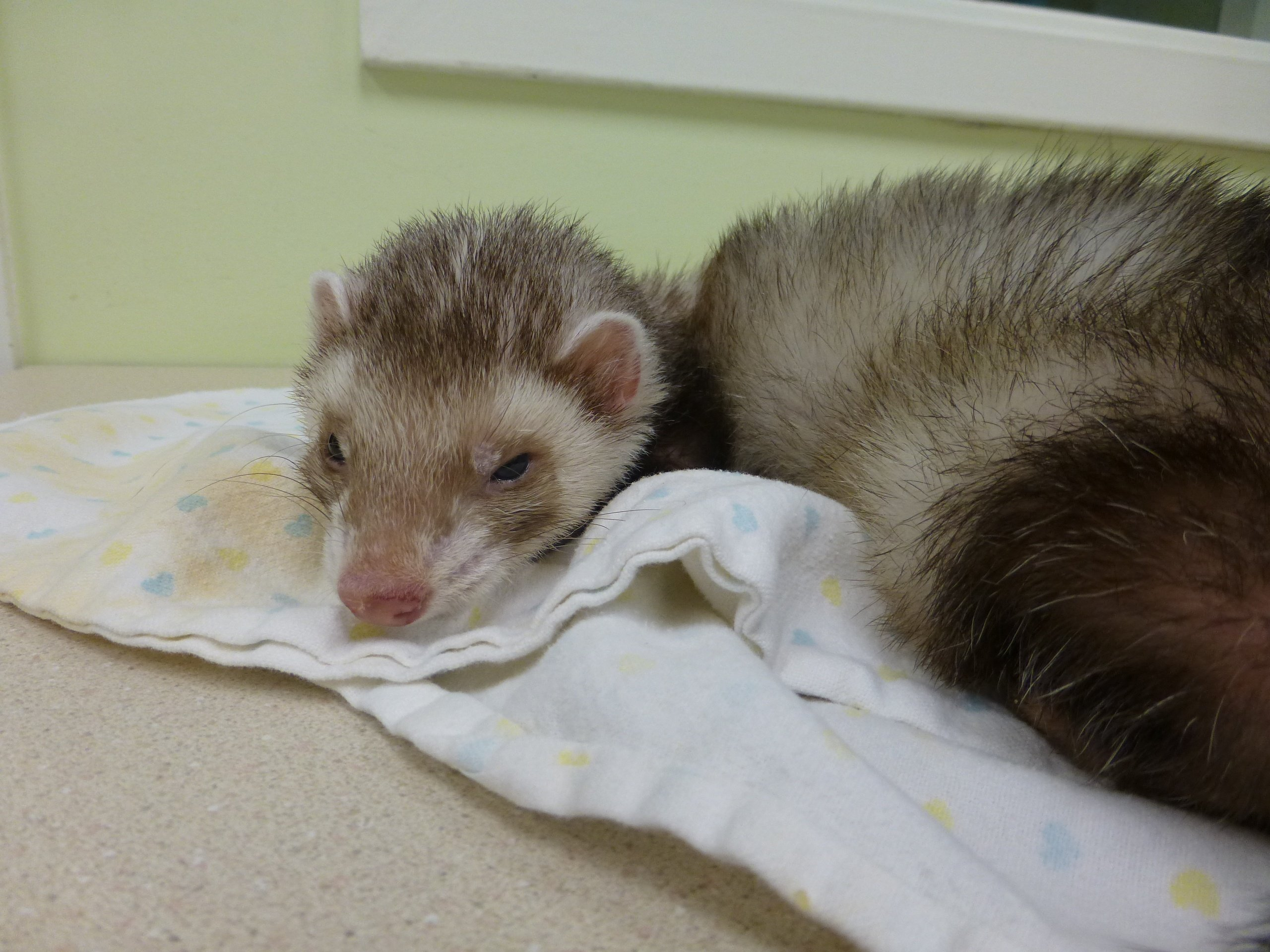 Ferret with low blood glucose