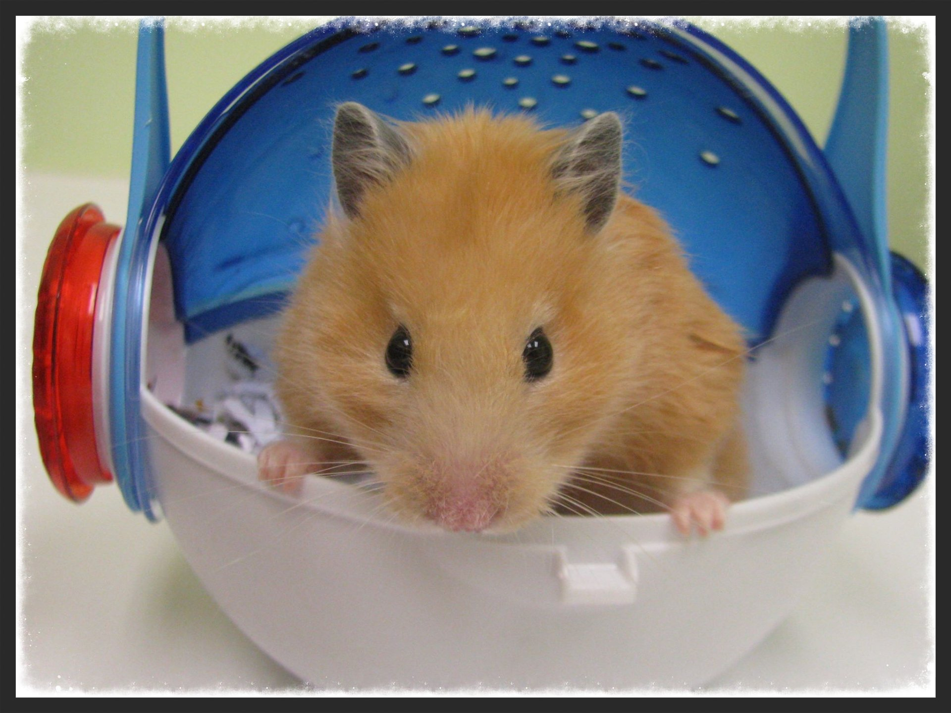 Syrian hamster in carrier