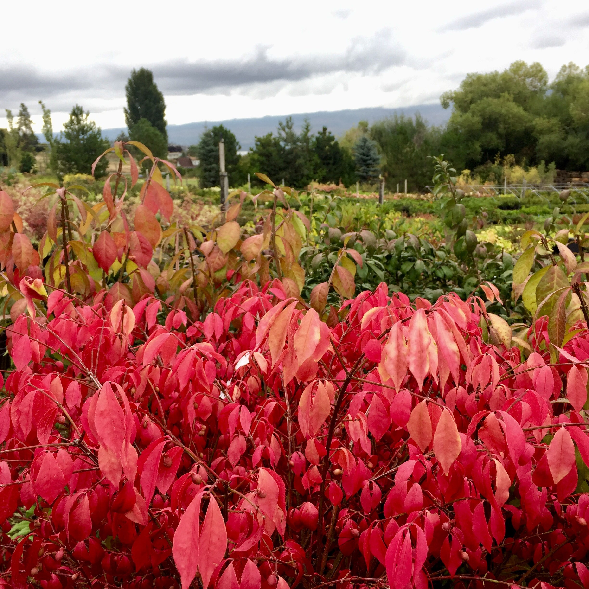 Burning bush for autumn colour
