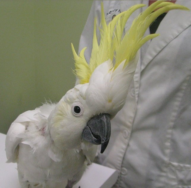 https://0901.nccdn.net/4_2/000/000/03f/ac7/cockatoo-greater-sulfur-crested.jpg