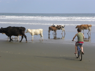 https://0901.nccdn.net/4_2/000/000/03f/ac7/cows_on_beach-320x240.jpg