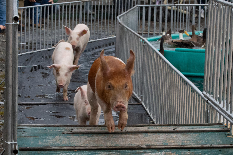 Richards Races Pig & Duck Races
