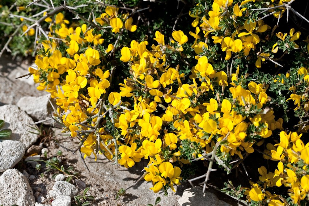 Arbuste commun qui  tapisse de jaune le  paysage de la Corse  du sud - Avril 2010