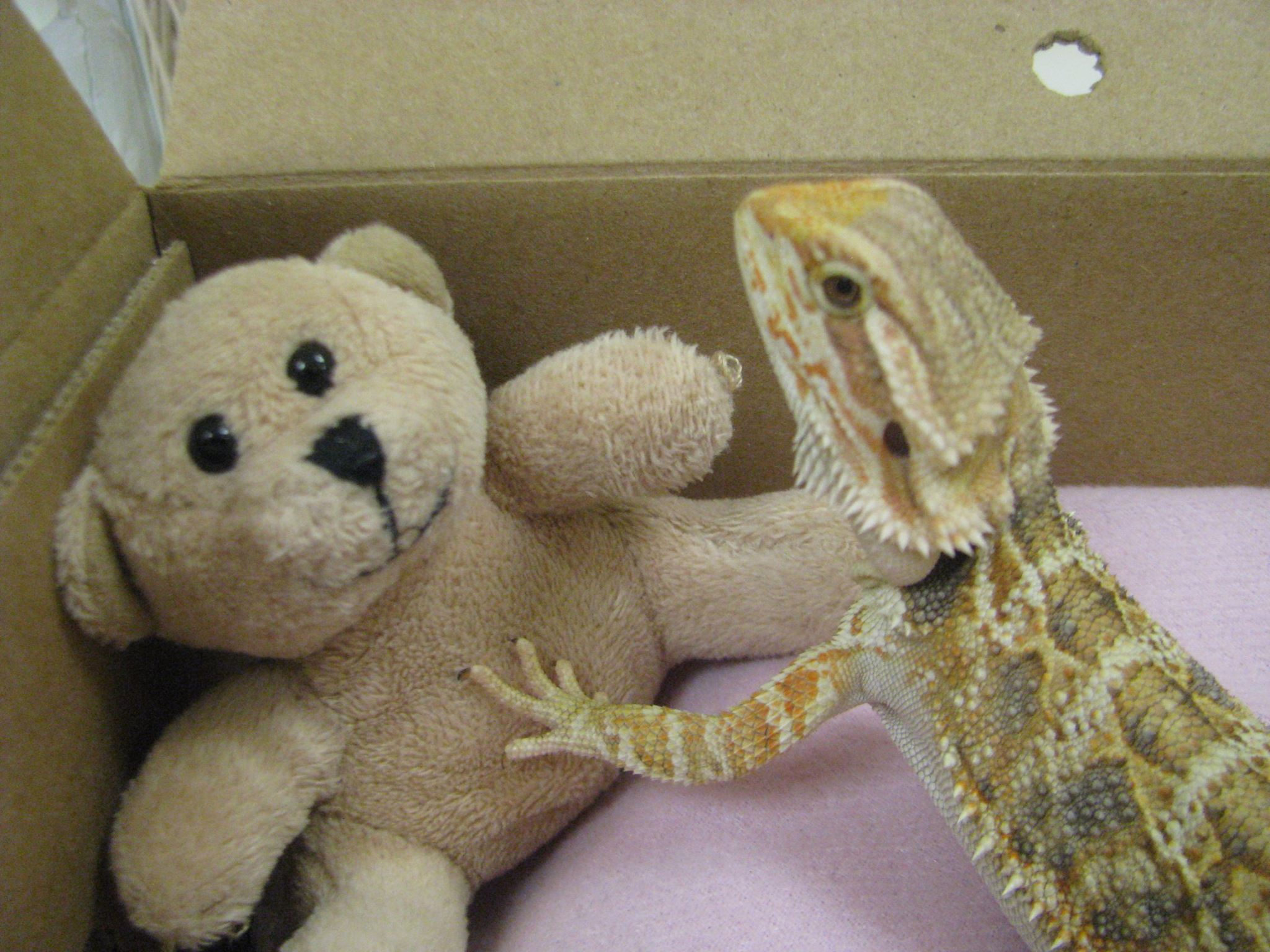 bearded dragon3