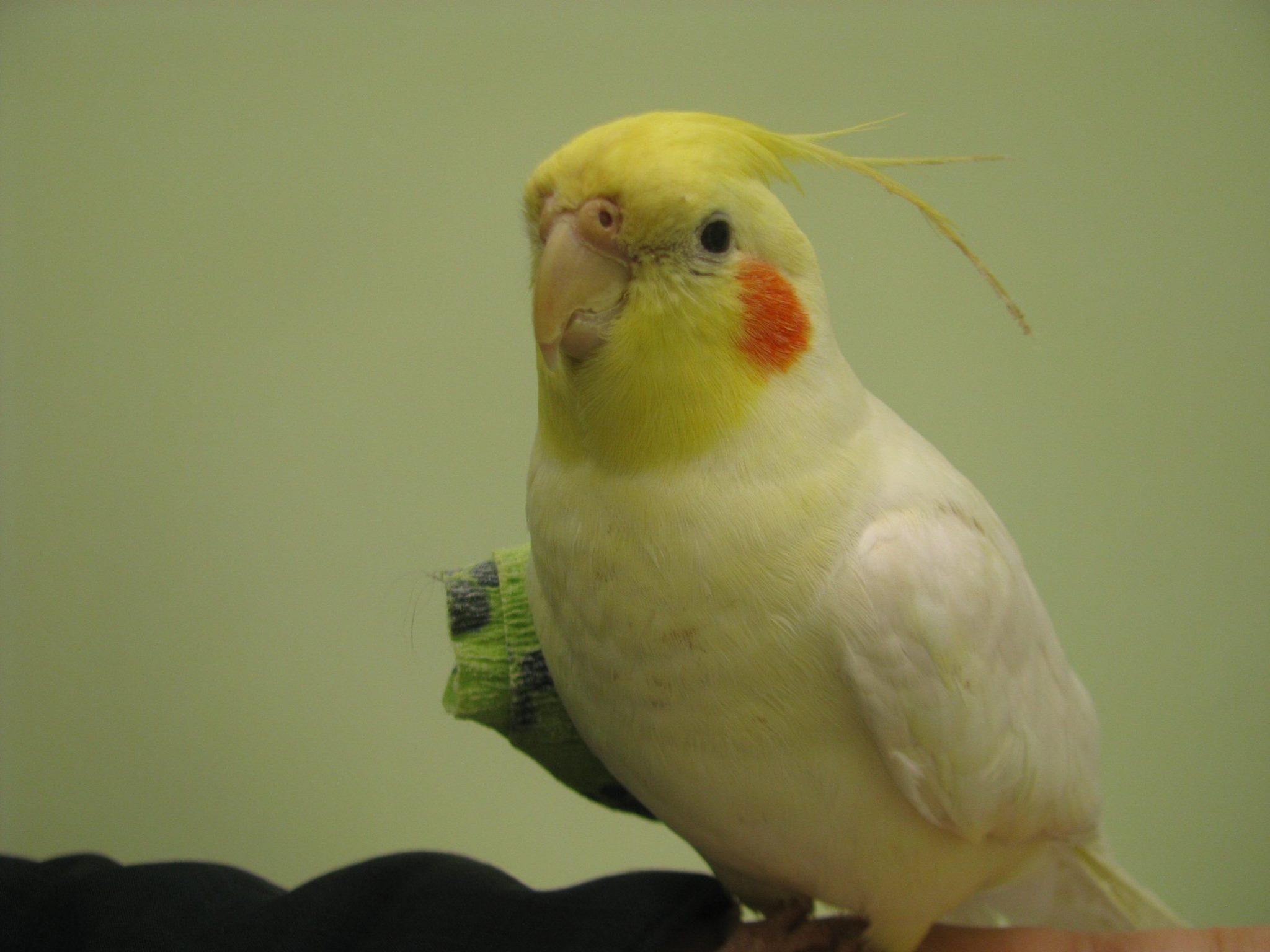 https://0901.nccdn.net/4_2/000/000/046/6ea/cockatiel-and-bandage.jpg