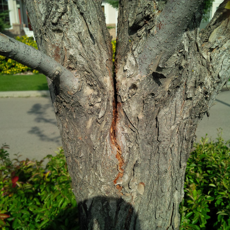 Splitting-Tree-Edmonton