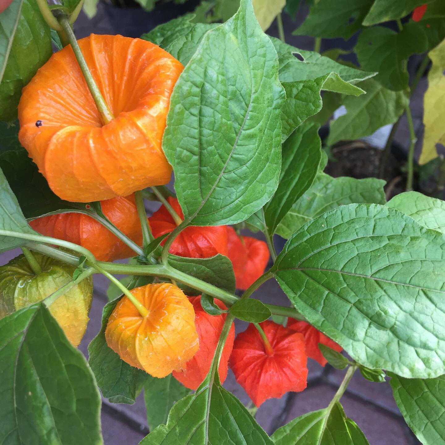 Chinese lanterns for autumn decor