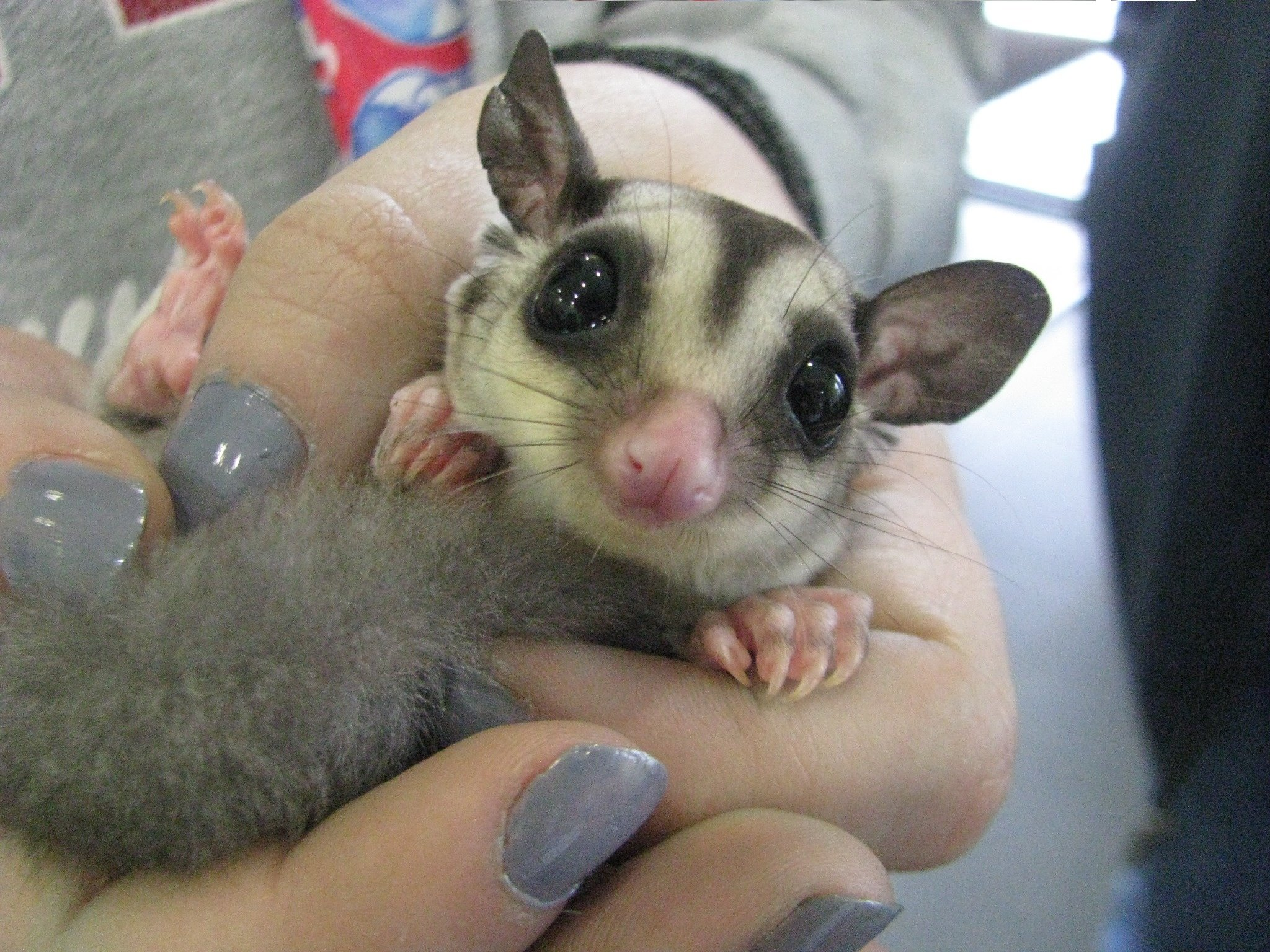 Sugar gliders sexually mature