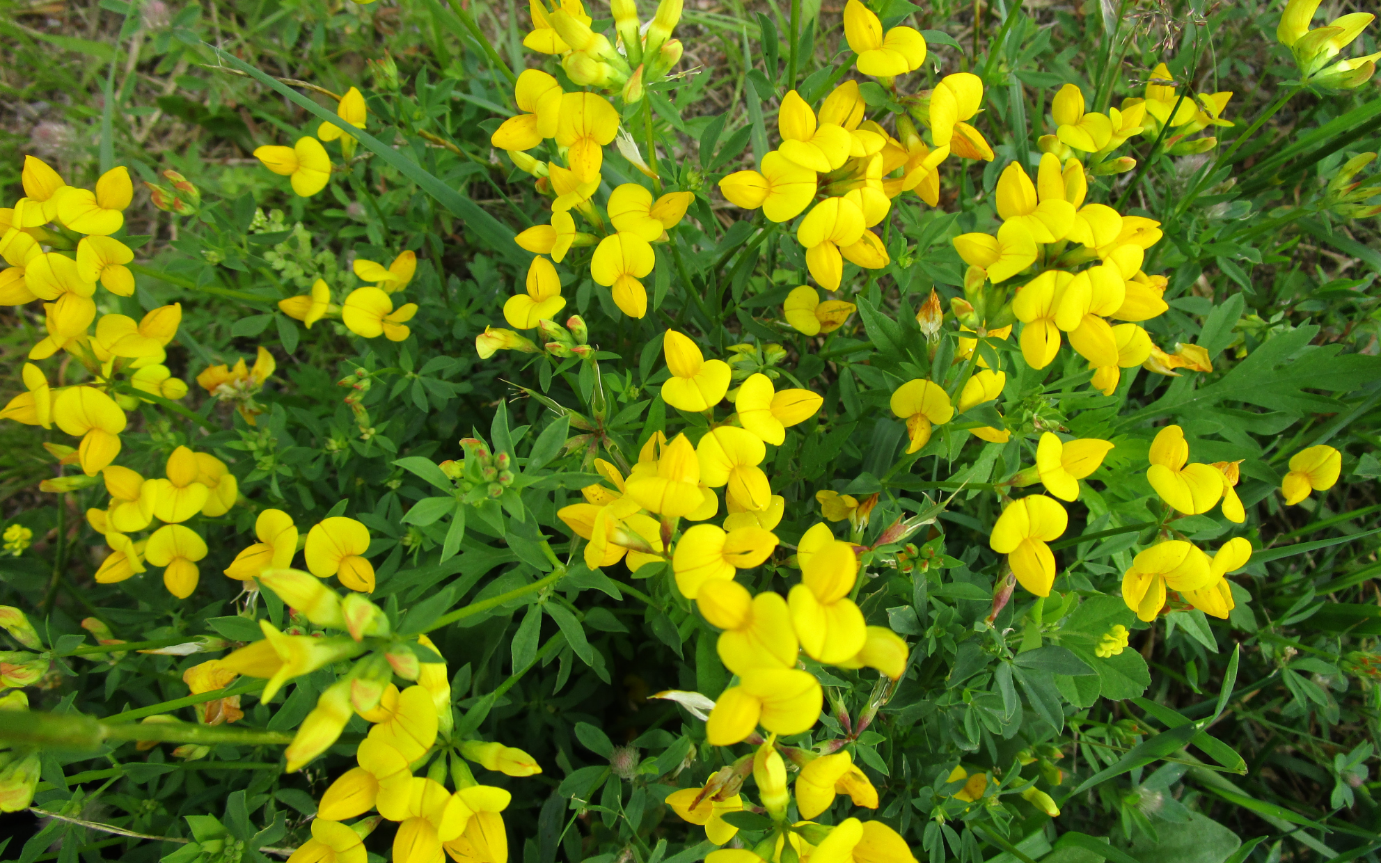 bird's foot trefoil  yellow flowers and leaves, spreading out as ground cover