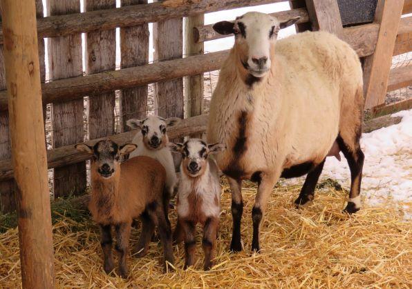Big Rock Stella  ram, ram, ewe lambs