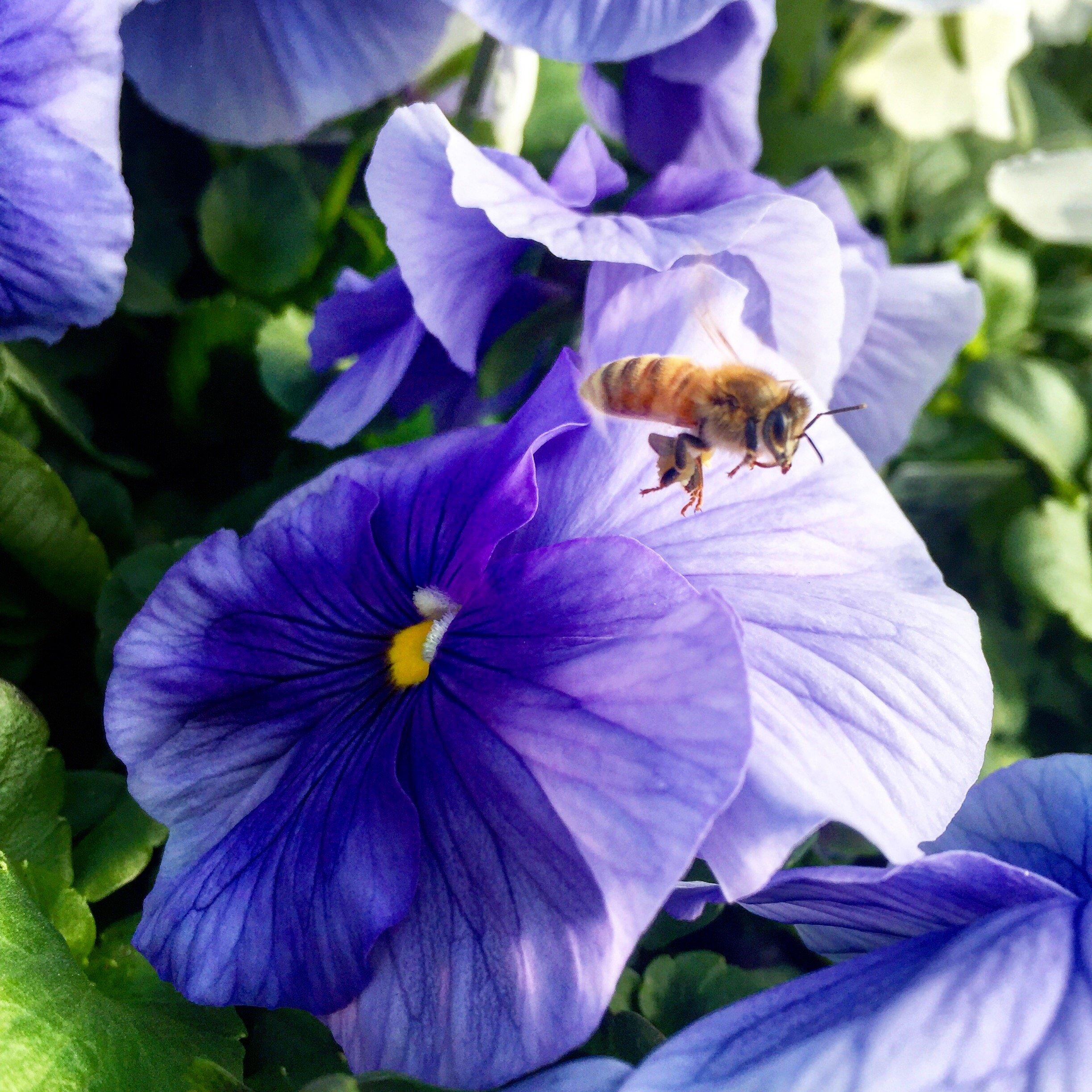 Springtime pollinator