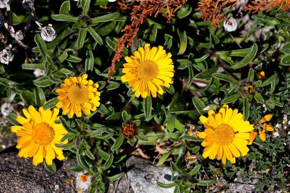 On est au printemps,  la Corse est tapissée  de fleurs - Avril 2010