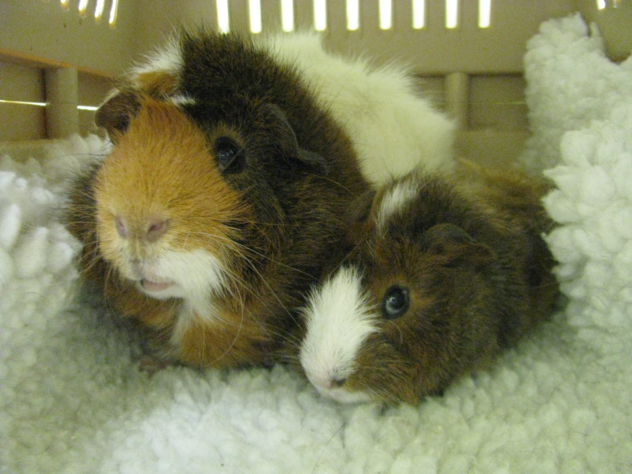 guinea pig mom and baby